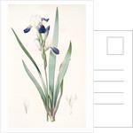 Iris amoena, Iris hybrida; Iris agréable, Bearded Iris by Pierre Joseph Redouté