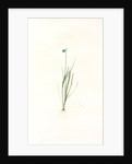 Sisyrinchium gramineum, Sisyrinchium angustifolium; Bermudienne à petites fleurs; Blue-eyed Grass by Pierre Joseph Redouté