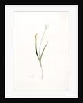 Allium brachystemon, Allium subhirsutum; Ail à petites étamines, Hairy garlic by Pierre Joseph Redouté