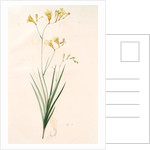 Gladiolus refractus, Freesia refracta; Glaïeul à tiges coudées; Freesia by Pierre Joseph Redouté
