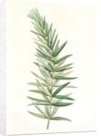 Polygonatum verticillatum, Polygonatum verticille, Whorled Solomon's seal by Pierre Joseph Redouté