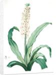 Eucomis punctata, Eucomis comosa; Eucomis ponctuée; Pineapple-Flower by Pierre Joseph Redouté