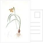 Pancratium croceum, Stenomesson croceum; Pancrace safrané by Pierre Joseph Redouté
