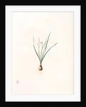 Narcissus pumilus, Narcisse nain by Pierre Joseph Redouté