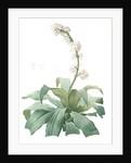 Aletris fragrans, Dracaena sp. Aletris odorant, Corn plant by Pierre Joseph Redouté