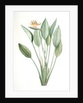 Strelitzia Reginae, Strelitzia reginae; Strelitzia de la reine; Bird of Paradise flower, Crane flower by Pierre Joseph Redouté