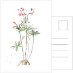 Alstroemeria, Alstroemeria Ligtu; Inca Lily, Peruvian Lily; St Martin's Flower by Pierre Joseph Redouté