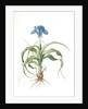 Iris scorpiodes, Iris alata; Iris Scorpion by Pierre Joseph Redouté