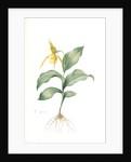 Cypripedium flavescens, Cypripedium Calceolus var. pubescens; Sabot à fleur jaune; American Lady-Slipper, Nerve root by Pierre Joseph Redouté