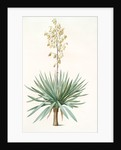 Yucca gloriosa, Yucca a feuilles entieres; Palm Lily or Spanish Dagger (signed) by Pierre Joseph Redouté