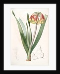 Cyrtanthus obliquus, Cyrtanthe oblique, Fire-Lily by Pierre Joseph Redouté