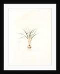 Crocus biflorus, Safran à deux fleurs; Scotch Crocus by Pierre Joseph Redouté