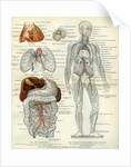 Blood Vessels 19th Century Medical Biology Human Body Intestines by Anonymous