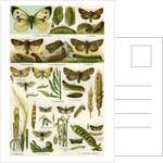 Butterflies Nineteenth Century by Anonymous
