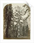 Grizzly Giant Mariposa Grove - 33 ft. Diam. by Carleton Watkins