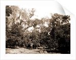 An orange grove on the Halifax, Fla, Jackson, Orange orchards, Harvesting, United States, Florida, Halifax River, 1880 by William Henry