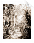In the Ormond hammock, Jackson, Palms, Trails & paths, United States, Florida, Ormond Beach, 1880 by William Henry