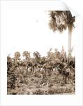 Banana plantation, Indian River, Jackson, Banana plantations, Waterfronts, Bays, United States, Florida, Indian River, 1880 by William Henry