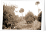 Grove at Barker's Bluff, Jackson, Trees, Bays, United States, Florida, Indian River, United States, Florida, Barker's Bluff, 1880 by William Henry