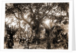 Rubber tree, Eden, Jackson, Rubber trees, Bays, United States, Florida, Indian River, United States, Florida, Eden, 1880 by William Henry