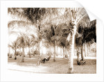 Cocoanut grove at McCormick's, Lake Worth, Fla, Jackson, McCormick's (Lake Worth, Fla.), Palms, United States, Florida, Lake Worth, 1880 by William Henry