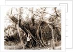 Rubber tree, Lake Worth, Fla, Jackson, Rubber trees, United States, Florida, Lake Worth, 1880 by William Henry