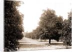 Orange grove, Seville, Fla, Jackson, Orange orchards, United States, Florida, Seville, 1880 by William Henry