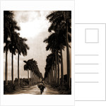 Avenue of Palms, Havana by Anonymous