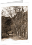 Black birches, Zoo park National Zoological Park by Anonymous