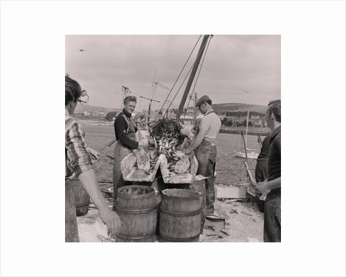 Herring being salted for export by Manx Press Pictures