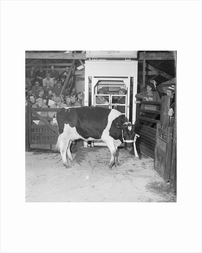 Friesian Cattle Show, St Johns by Manx Press Pictures