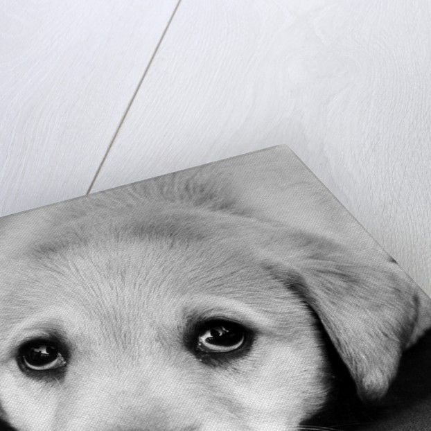 A labrador puppy looks at the camera by Freddie Reed