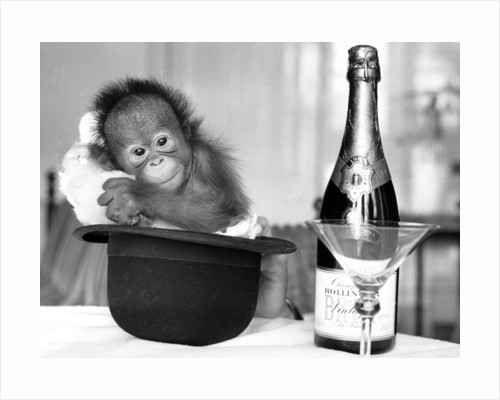 A baby Orangutan at Twycross Zoo. by Staff