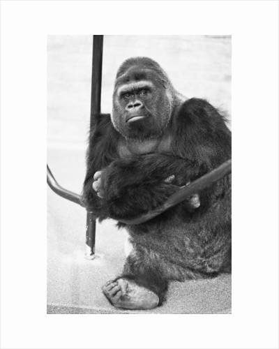Guy the Gorilla by Ron Burton