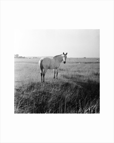 A white horse on Romney Marshes, Kent, 1954 by Bela Zola