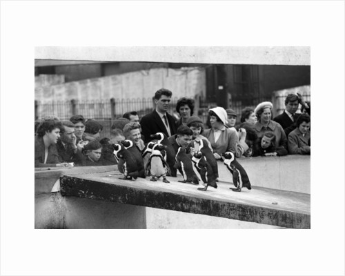Penguins at London Zoo, 1959 by Tanner