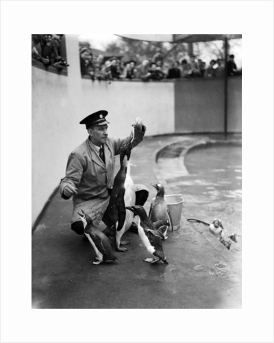 Emperor Penguin at London Zoo, 1950 by Staff
