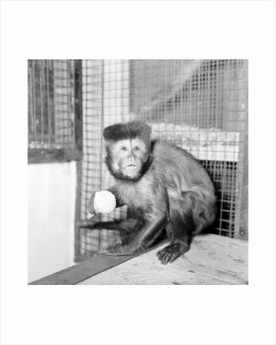 A Capucine Monkey eating an icecream cone by Anonymous