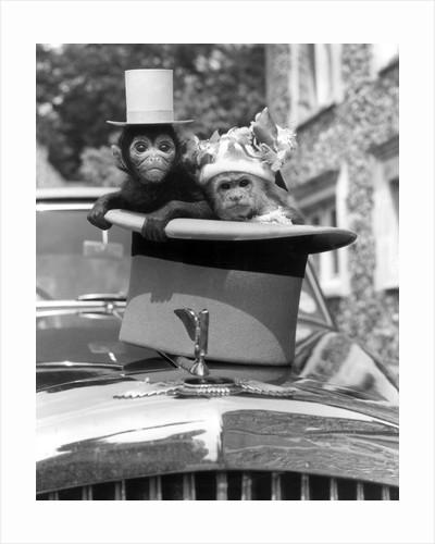 Stan the spider monkey and Hilda the Capuchin Monkey by Arthur Sidey
