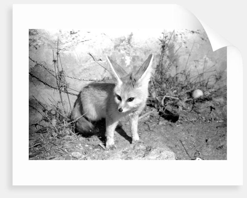 Rommella the desert fox by Staff
