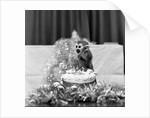 Pip the Squirrel Monkey by Sunday People