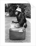 A Chimpanzee at Twycross Zoo ready for travelling. by Staff