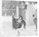 Chimpanzees of Bertram Mills circus by Chapman