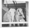Tensing the kitten who lives at Belle Vue Zoo by Howard Walker