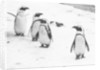 Pengiuns explore their enclosure at London Zoo by Arthur Sidey