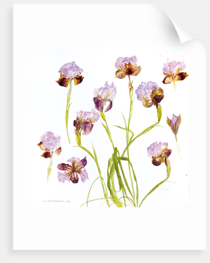 Iris Oncocyclus 1996 by Elizabeth Blackadder
