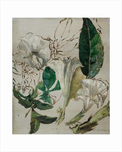 Study of Datura, c.1899-1912 by Edward Atkinson Hornel