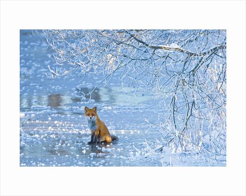 Ice fox by Henrik Lund