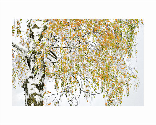 Golden birch by Herfried Marek