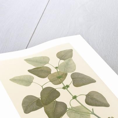 Eucalyptus alba by Alecto
